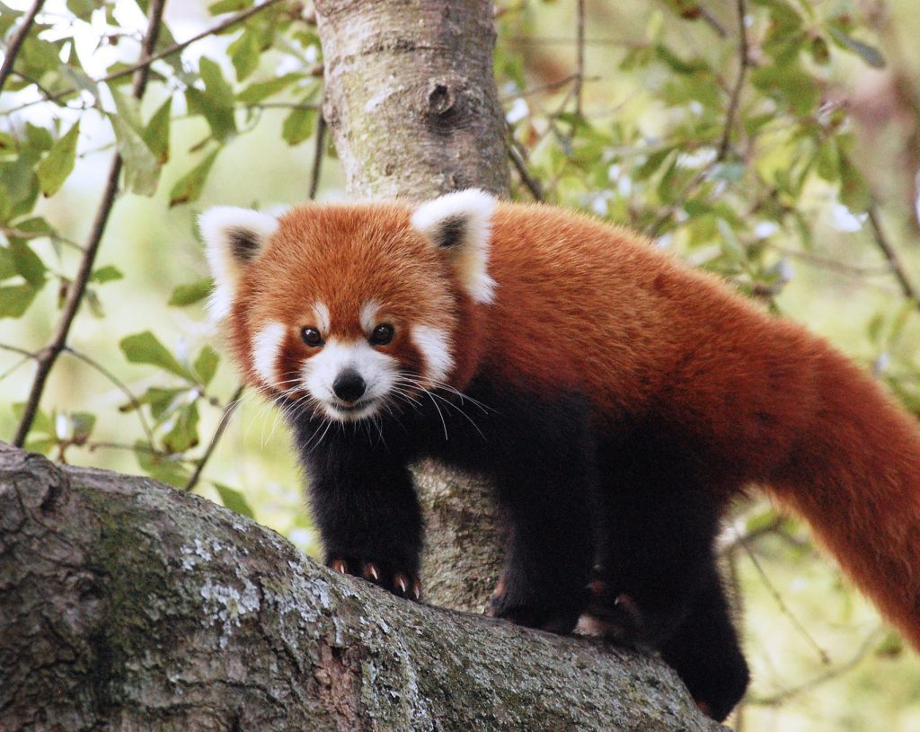 red panda in himalayan zoo gangtok